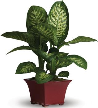 Order Online Indoor Plants as Gifts with online Delivery